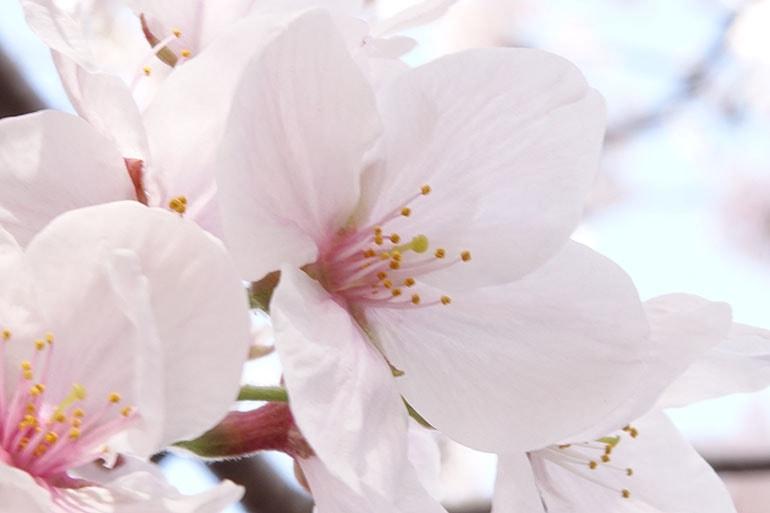 桜をキレイに撮る5つのポイント_10