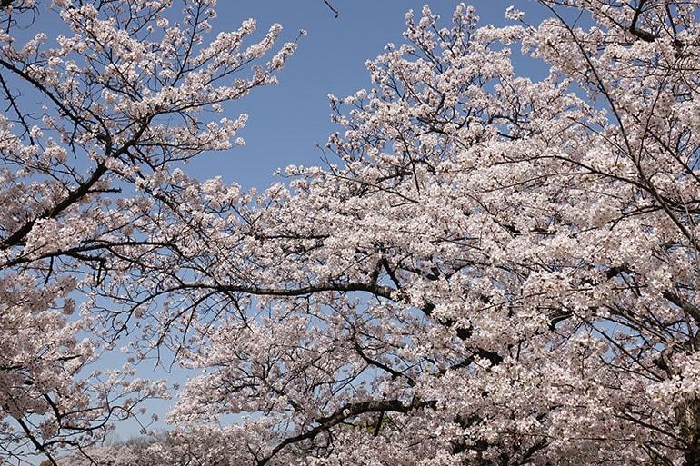 桜をキレイに撮る5つのポイント_3
