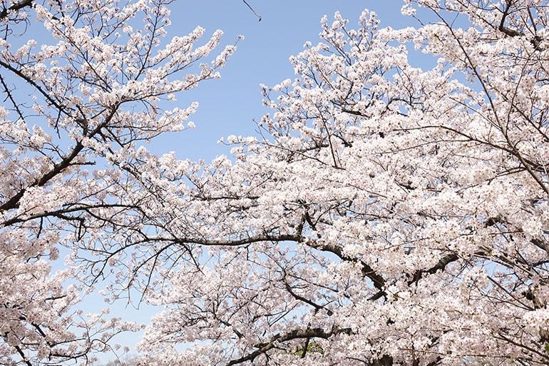 桜をキレイに撮る5つのポイント_4