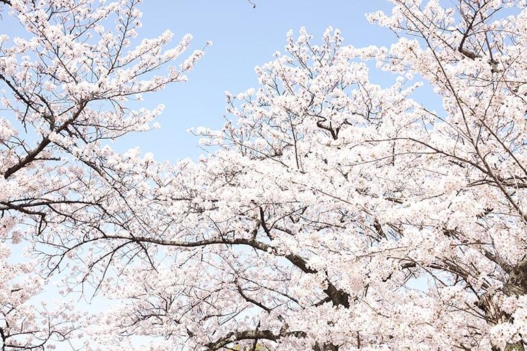 桜をキレイに撮る5つのポイント_5