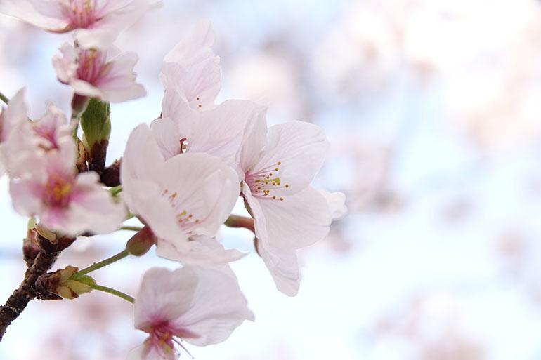 桜をキレイに撮る5つのポイント_9
